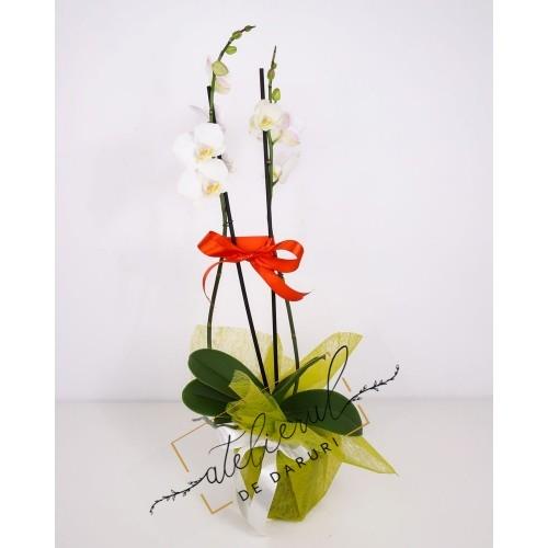 ORHIDEE Phalaenopsis alba